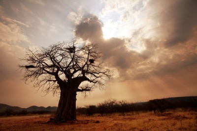Baobab tree med res