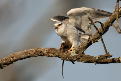 24727518 - black-shouldered kite
