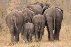 Elephant herd from behind lower res 240 x 160