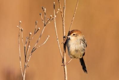 13402428 - cisticola sitting in the sun on a small brown twig